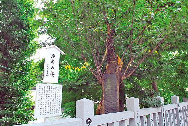 台風で幹の三分の二が失われたにもかかわらず、数日後季節外れの花を咲かせたことから「延命の桜」と呼ばれ、大勢の参拝者が訪れている。