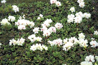 遊歩道を通り、第一展望台へと向かう途中、高山植物が花を咲かせていました。