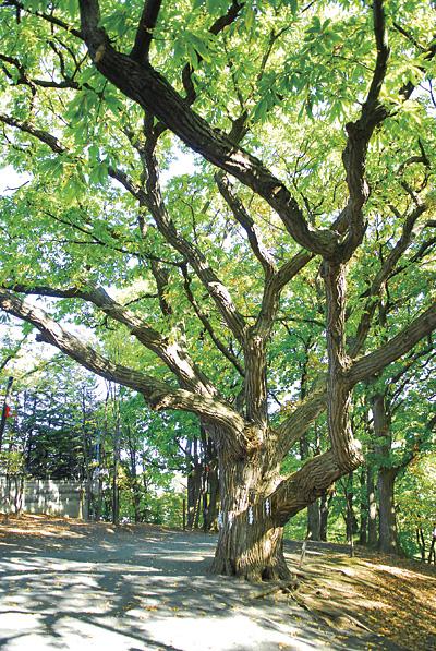 命(希望)を頂くことができる御神木『栗の木』。樹齢300年以上といわれているこの木は左右に枝葉を伸ばし、見上げる者を身体ごとすっぽりと包み込むような包容力を感じさせてくれます。一般の方は参道側の方の幹、スピリチュアルな感覚をお持ちの方は、その裏側の窪みのある部分に触れると、パワーを感じることができるそうですから訪れたときは優しく手をあててみてください。木肌に猿のような?顔が見える場所を見つけた人は手を差しのべてみて!「命」が詰まった玉をいただけるかも。